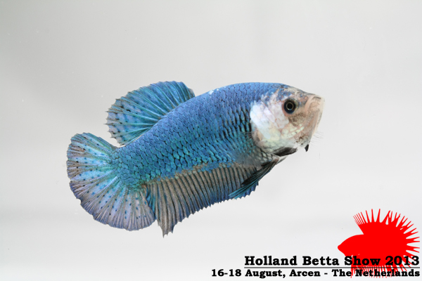 Bettas4all presents the Holland Betta Show 16-18 August 2013 HBS2013-BOSF