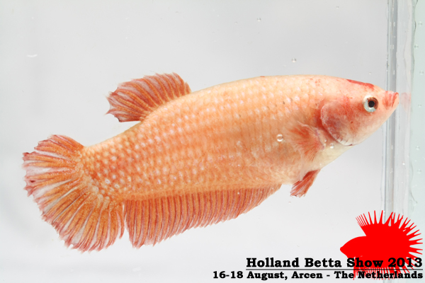 Bettas4all presents the Holland Betta Show 16-18 August 2013 HBS2013-F10Allcolors-1