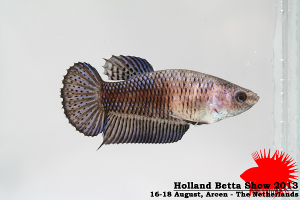 Bettas4all presents the Holland Betta Show 16-18 August 2013 HBS2013-F1Allcolors-1