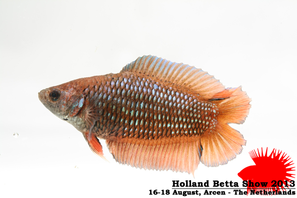 Bettas4all presents the Holland Betta Show 16-18 August 2013 HBS2013-F4Allcolors-1