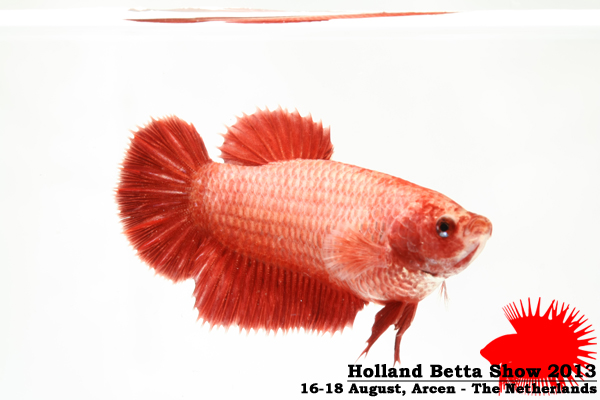 Bettas4all presents the Holland Betta Show 16-18 August 2013 HBS2013-F7UnicolorLB-2