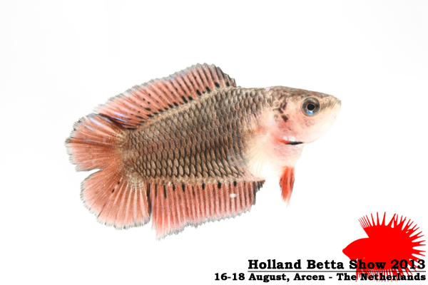 Bettas4all presents the Holland Betta Show 16-18 August 2013 HBS2013-F8Allcolors-1