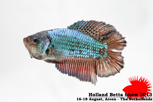 Bettas4all presents the Holland Betta Show 16-18 August 2013 HBS2013-F8Allcolors-2