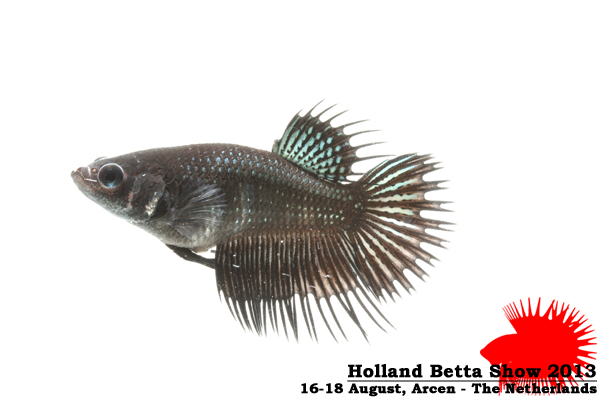 Bettas4all presents the Holland Betta Show 16-18 August 2013 HBS2013-F9Allcolors-2