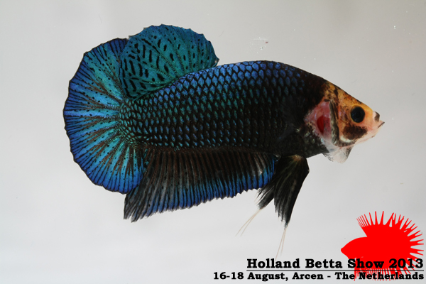 Bettas4all presents the Holland Betta Show 16-18 August 2013 HBS2013-M2Marble-3