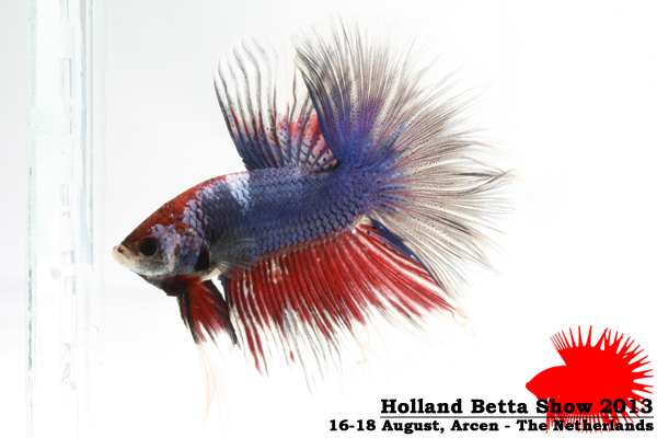 Bettas4all presents the Holland Betta Show 16-18 August 2013 HBS2013-M7Marble-2