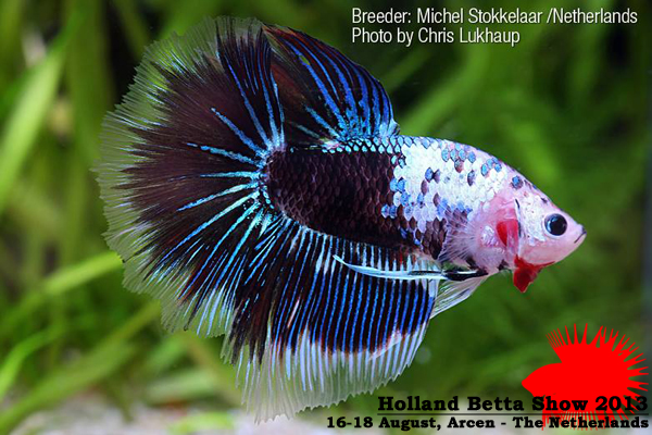 Bettas4all presents the Holland Betta Show 16-18 August 2013 HBS2013-Publicprize