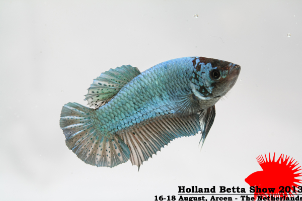Bettas4all presents the Holland Betta Show 16-18 August 2013 HBS2013-RBOSF