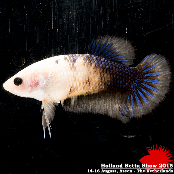 Bettas4all presents the Holland Betta Show 14-16 August 2015 HBS2015-F2+3Marble-1