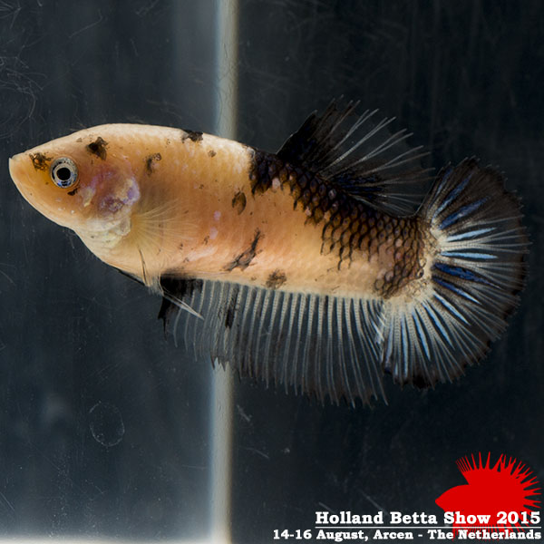 Bettas4all presents the Holland Betta Show 14-16 August 2015 HBS2015-F7Marble-1
