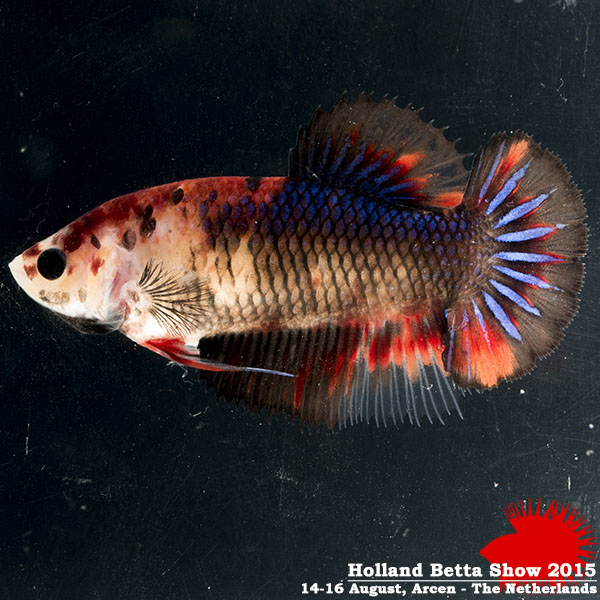 Bettas4all presents the Holland Betta Show 14-16 August 2015 HBS2015-F7Marble-2