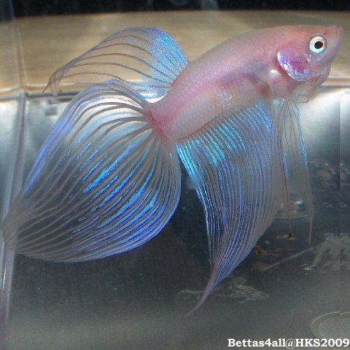 Cellophane betta fish for Keeping betta fish