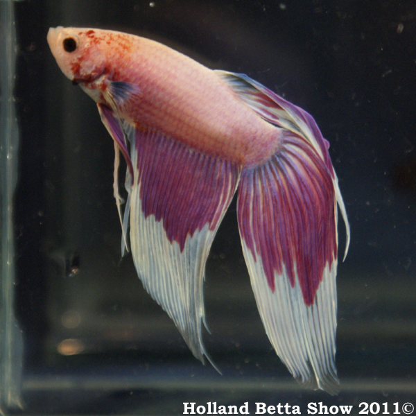 Holland betta show 2018 holland betta show 2011 for Male veiltail betta fish