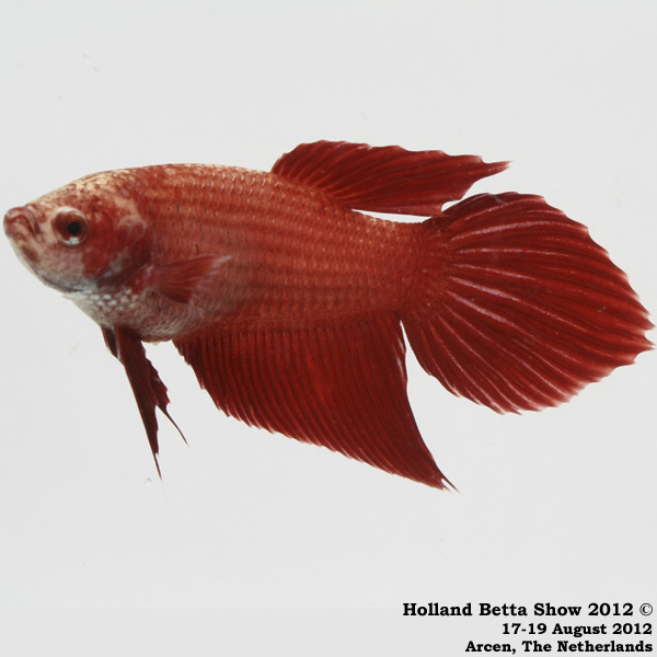 Holland betta show 2018 holland betta show 2012 for Male veiltail betta fish